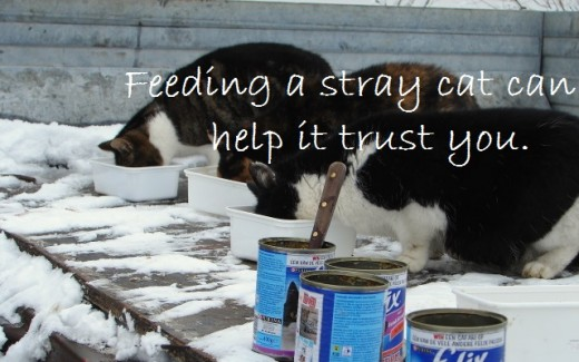 Feeding a stray cat is the best way to start gaining its trust.
