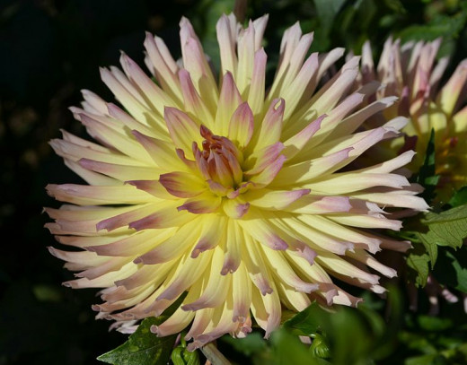 This species was bred from the Cactus Dahlia.