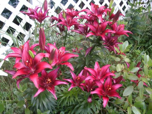 My Lilies
