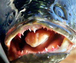 Latest News On Snake Head Fish In The US, Images, Video, Information And Locations