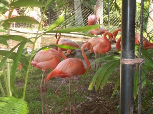 Flamingos At The Garden