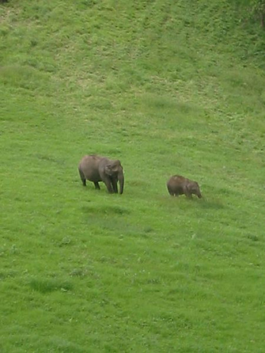 Elephants gazing at Munnar