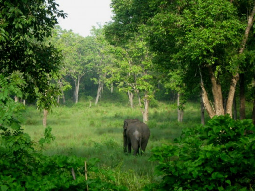 An elephant in Muthanga Forest, a danger one if roaming alone.
