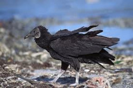 Black Vultures have dark bodies, grey heads and legs.