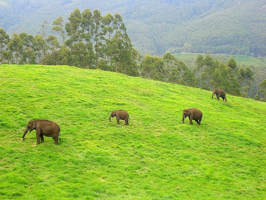 Wild Elephants in Munnar