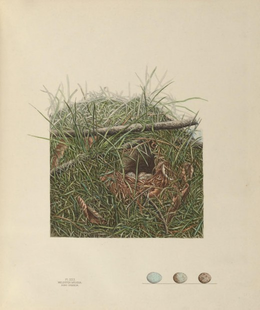 The Image  is of a nest situated in a depression in a bank sloping down to a stream, protected only by blades of blue grass.May 15 1881