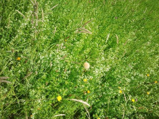 Green Grasses & Wildflowers