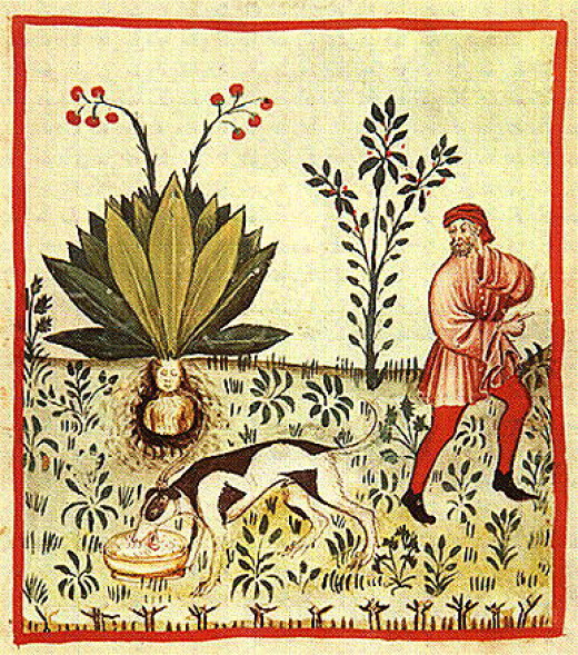 The Fruit of the Mandragora an ancient remedy for Insomnia