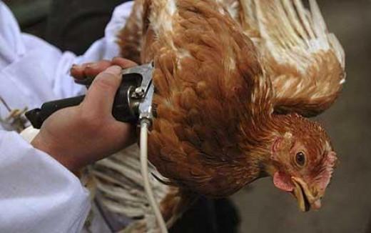 bird vacination