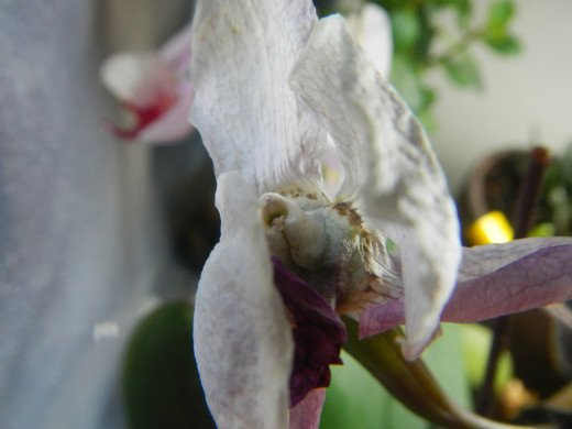 An Orchid Keiki forming inside a pollinated flower.