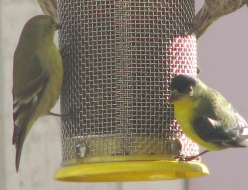"Lesser Goldfinches (Carduelis psaltria) at thistle feeder, female on the left, male on the right (See ""ID"" capsule)"
