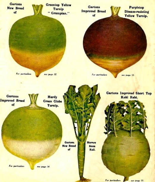 Turnips come in many varieties. The green tops are very nutritious