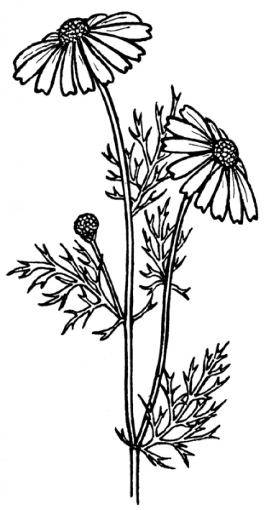 Feverfew is a natural herb that has been used as to cure headaches in the past.