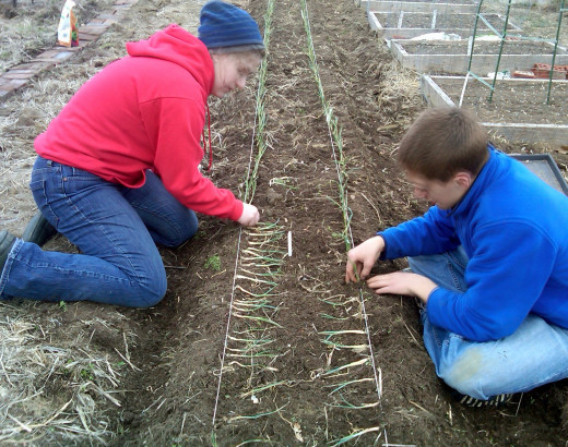 Onions Planting