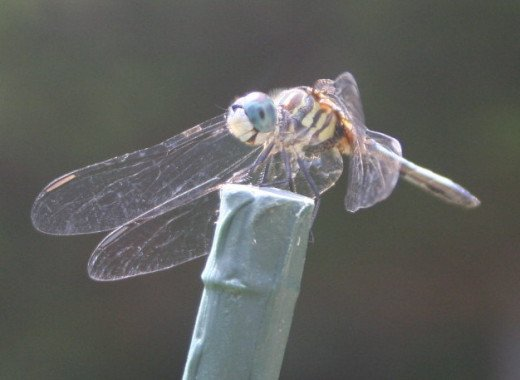Dragonfly resting on garden stake.
