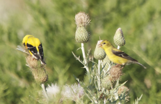 Male(Left) and Female(Right) American Goldfinch on Thistle