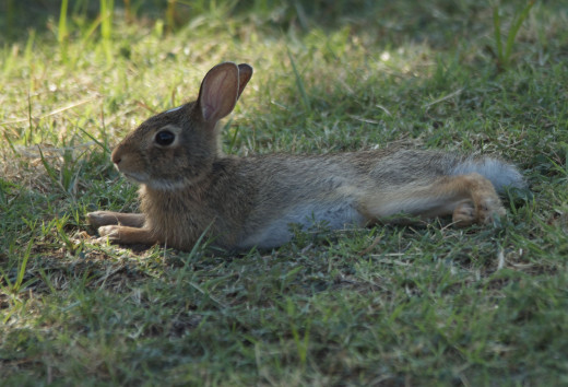Young Marsh Rabbit