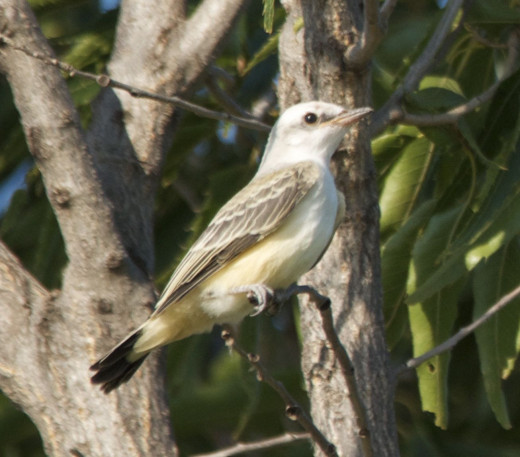 Immature Scissor-tailed Flycatcher
