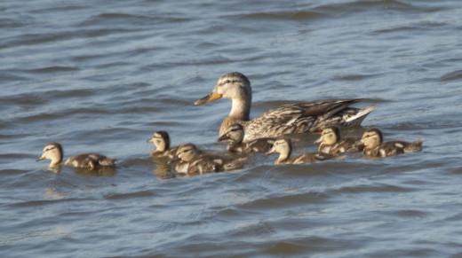 Mallard Hen and Ducklings
