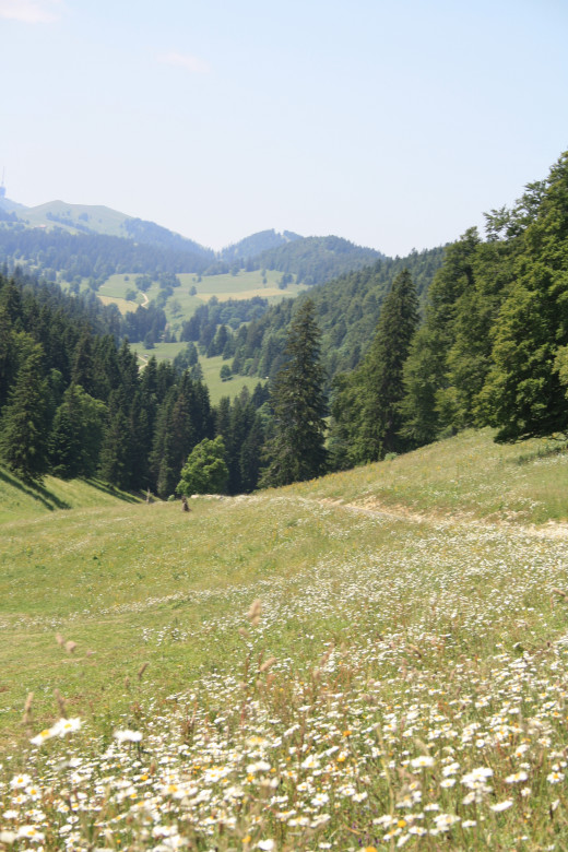 Alp Mountain Green Grasses, Wildflowers, Pine Trees, Switzerland