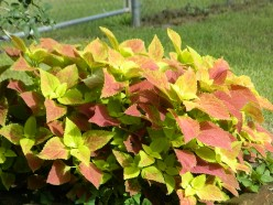 Grow Showy Coleus From Cuttings