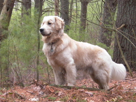 Wouldn't you want the best collar for this adorable golden retriever?