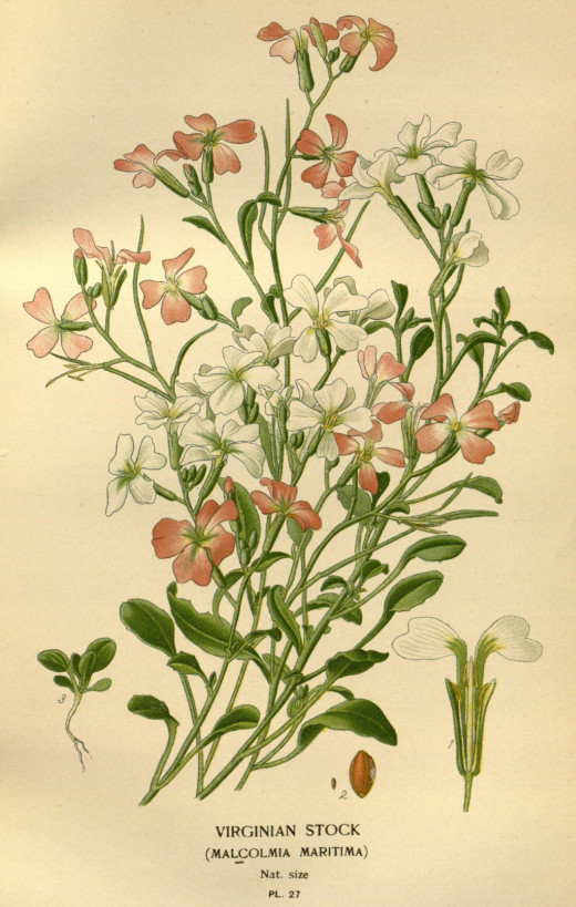 The plant known as Virginia Stock is placed in the genus Malcolmia