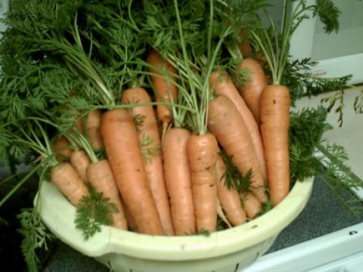These are Napoli carrots that we grew and harvested.