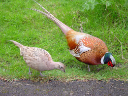 Male and Female Pheasant foraging on the side of the road by the ditch.