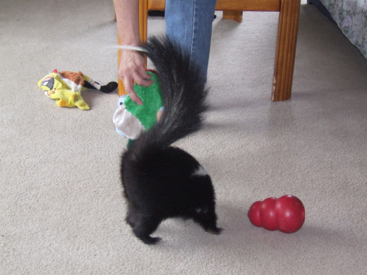 Pui Pui, a rehabilitated skunk that could not be released