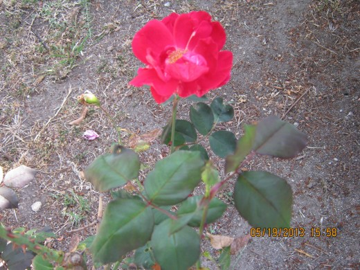 Red rose taken by Victoria Moore