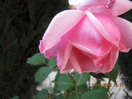 Pink rose taken by Victoria Moore
