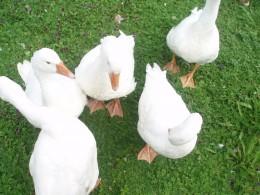 Greedy Ducks