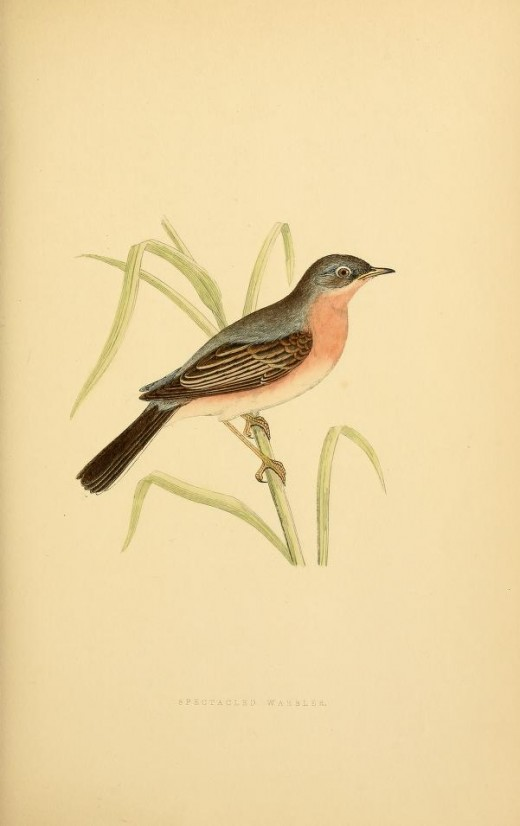 From The History of the Birds of Europe { not observed in the British isles} 1800s