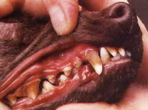 Tartar build up in a dog's mouth can lead to gum disease