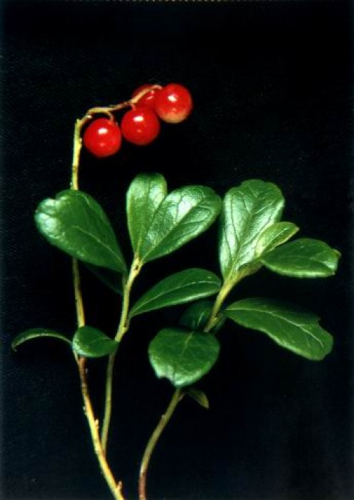 Arbutin - Uva Ursi Plant
