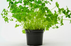 Coriander Plants for Kitchen Garden