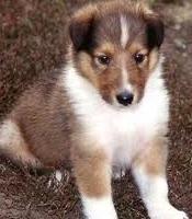 Lassie Collie Puppy