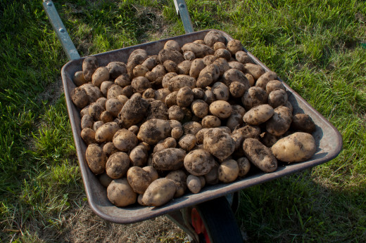 Mmmm...freshly harvested potatoes.