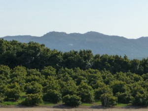 Cutting tall trees lets them regrow.  The shorter trees will grow foliage and bloom again,  producing many  more avocados if they aregiven the proper care.