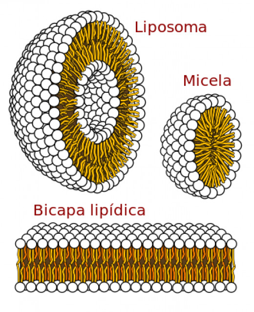 The Structure of Phospholipids