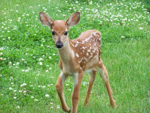 Even a cute, Bambi-esque deer can still be carrying a bunch of ticks that are just waiting to drop off into your grass and plant hundreds of eggs.