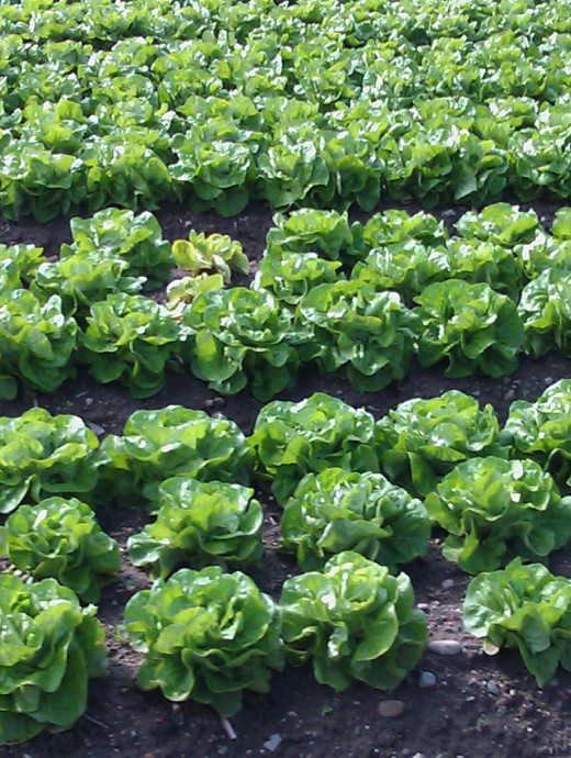 Romaine and other lettuce, kale, spinach, mustard greens, swiss chard, and other dark leafy greens are jam-packed with essential nutrients, especially water, dietary fiber, iron, vitamins, minerals, phytochemicals and anti-oxidants.
