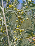 Wormwood Its History and Medicinal Uses