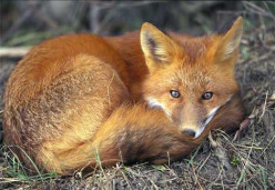 The rural and Urban Fox so similar to town and country folk.