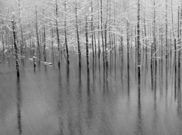 bare trees' icy reflection