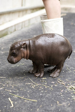 The unique Pygmy Hippo is an example of one of the many endangered species of the Guinea Forest