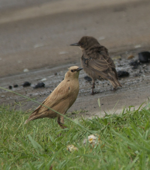 Young European Starling with Parent