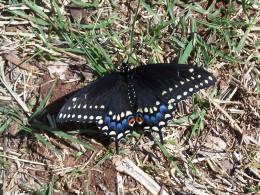 butterflies rule in the dreamer