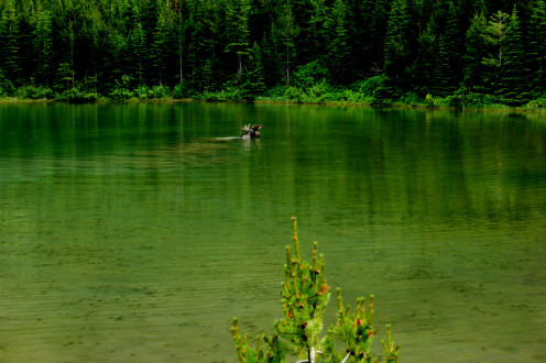 Moose in Red Rock Lake, Glacier National Park